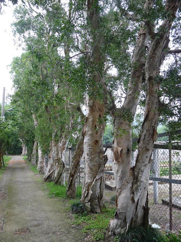 cajput trees