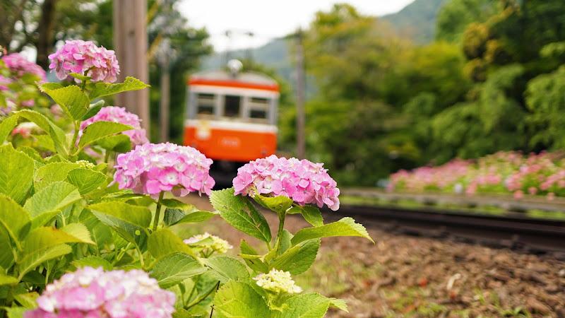 箱根 箱根登山鉄道 あじさい 写真3