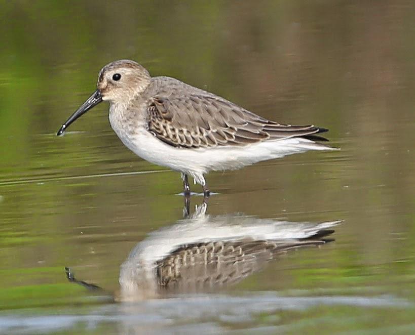 黑腹濱鷸 * Dunlin - Shorebirds 涉禽 - HKBWS Forum 香港觀鳥會討論區 - Powered by Discuz!