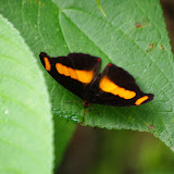 Catonephele chromis chromis (DOUBLEDAY, [1848]), mâle. Piste de Gualchan à Chical, 1600 m (Carchi, Équateur), 3 décembre 2013. Photo : J.-M. Gayman