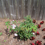 Gardening 2010 - 101_0702.JPG