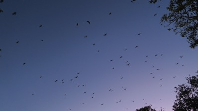 Sky thick with Bats