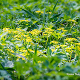 Молочай-солнцегляд (Euphorbia helioscopia)