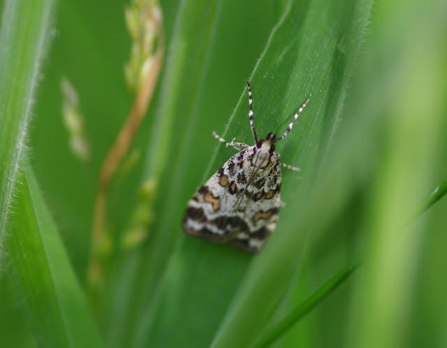 Crambidae : Scopariinae : Scoparia conicella (La Harpe, 1863). Les Hautes-Lisières (Rouvres, 28), 2 juin 2015. Photo : J.-M. Gayman