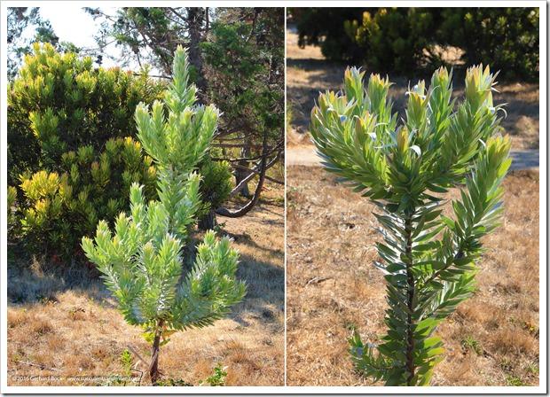 160813_UCSC_Arboretum_Leucadendron-argenteum_003