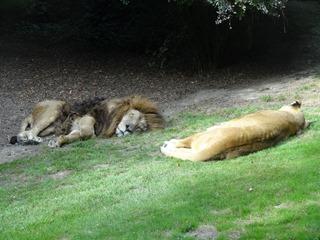 2016.09.02-046 lions