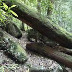 Fallen tree across trail alongside Wollombi Brook (364787)
