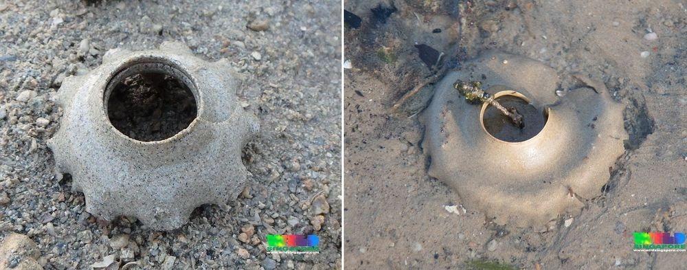 sand-collar-moon-snail-8