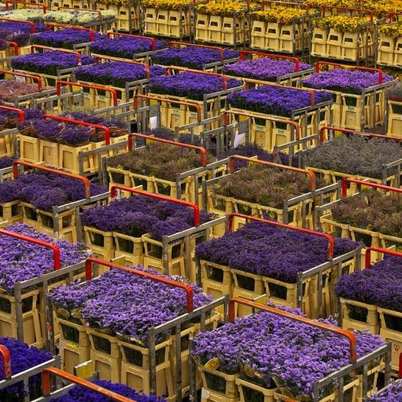 The Unique Flower Auction at Aalsmeer