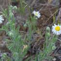 Threadleaf daisy