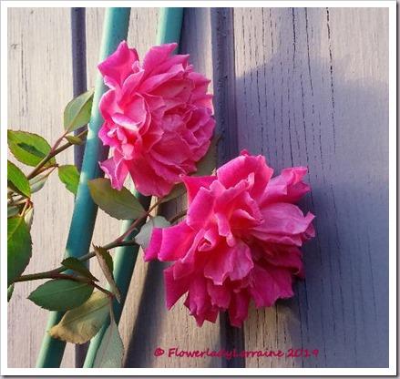 12-31-carnation-roses