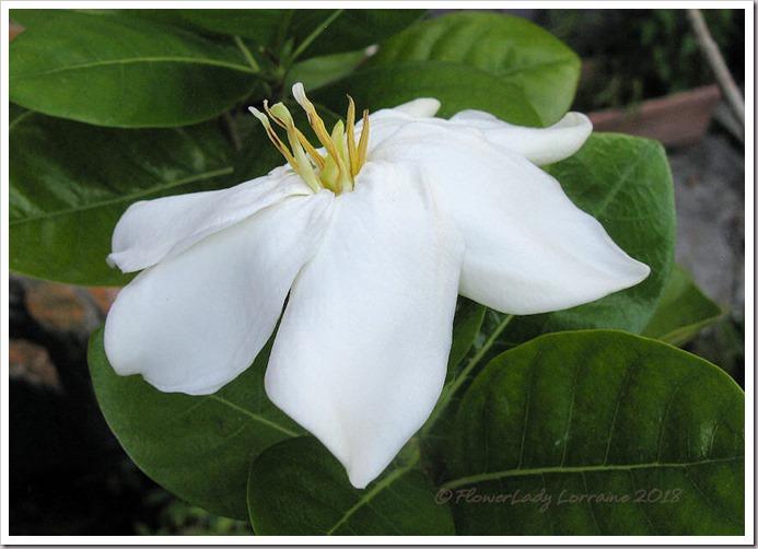 04-19-tahitian-gardenia