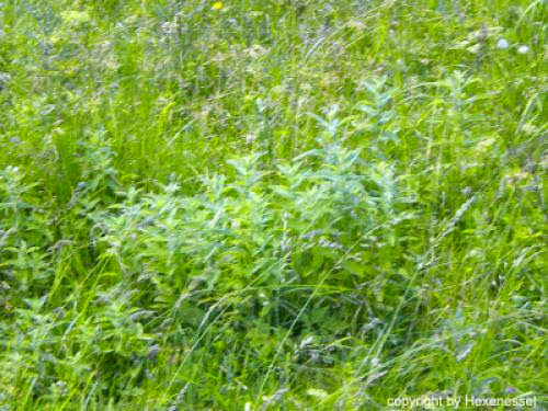 Salbei Mutter Schtzerin Pflanze Heilen