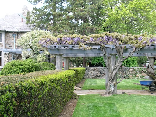 Spring starts with wisteria on the pergola.