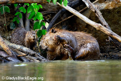 Beavers stay together as a family unit during the winter to help with warmth in their den.