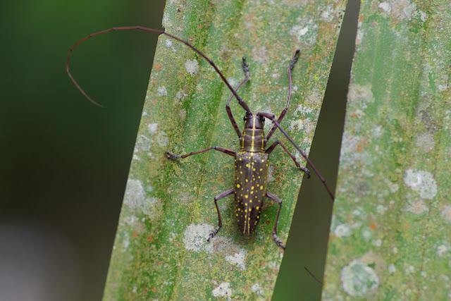 Taeniotes farinosus (LINNAEUS, 1758). Tunda Loma (Calderon, Esmeraldas), 7 décembre 2013. Photo : J.-M. Gayman