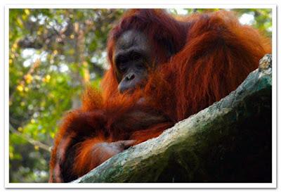 Flora-and-Fauna-Orangutan.jpg