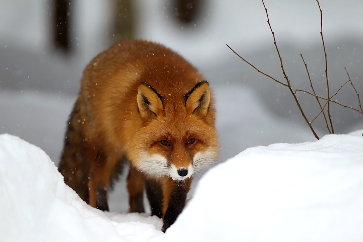 winter snow red fox wallpaper