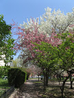 Flowering trees on Avery Mall