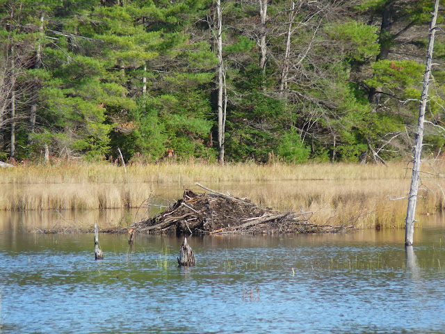 Beaver lodge - note food pile to left