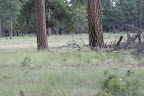 Coyote, Mogollon Rim of the Paseo del Lobo (Photo by D. Sayre)