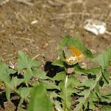 Coenonympha arcania LINNAEUS, 1761. Les Hautes-Lisières (Rouvres, 28), 11 juin 2010. Photo : J.-M. Gayman
