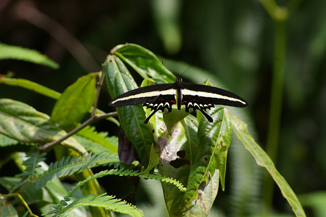 Papilio hectorides ESPER, 1794, mâle. Caçandoca (Ubatuba, SP), 15 février 2011. Photo : J.-M. Gayman