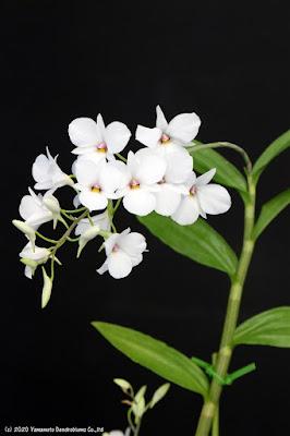 Den. fytchianum フィッチアナム