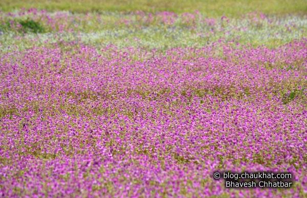 Flower bed of purple orchids, at the Kas Plateau