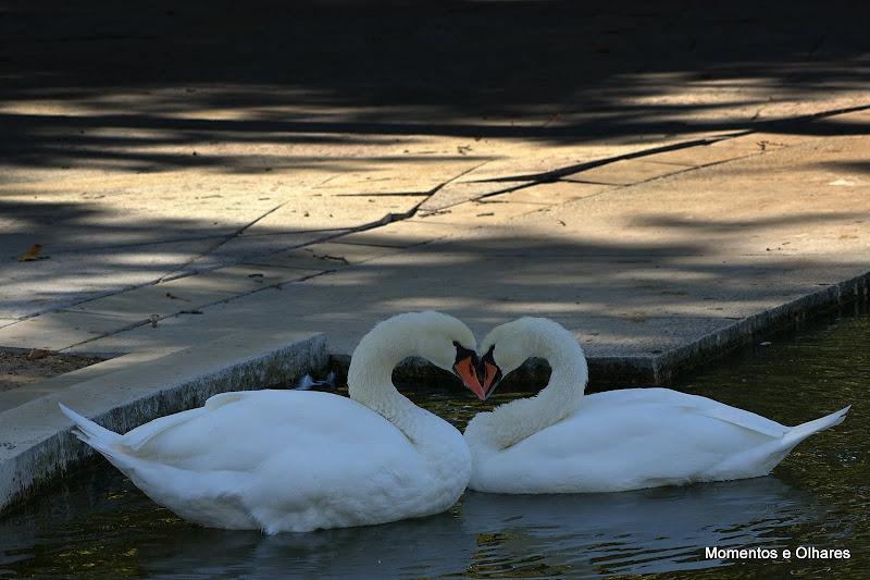 Cisnes no jardim do Bonfim