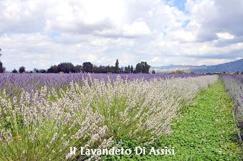 Campi di lavanda in Italia, da visitare Assisi e dintorni, luoghi da visitare Assisi, Umbria, Italia, itinerario Turistico Assisi