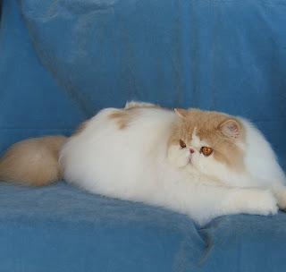 Persian cat in michigan