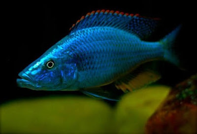 COMPRESSICEPS (Dimidiochromis Compressiceps)