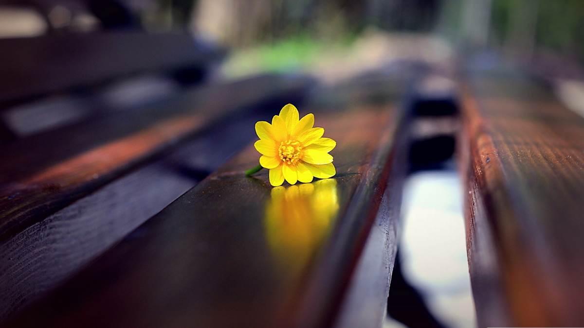 hoa huong duong, sunflower