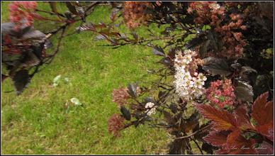 """Photo: Fizocarp roșu """"Diabolo"""" (Physocarpus opulifolius """"Diabolo"""") - din Turda, Parcul Teilor - 2019.06.07"""