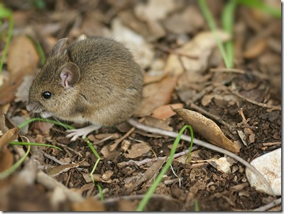 Wood mouse. Photo: Hans Hillewaert