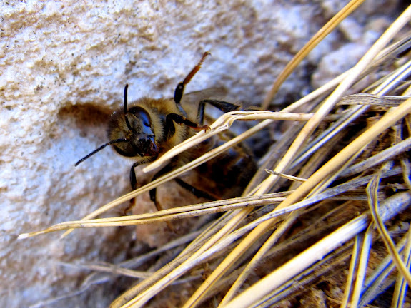 A bee near the rock art
