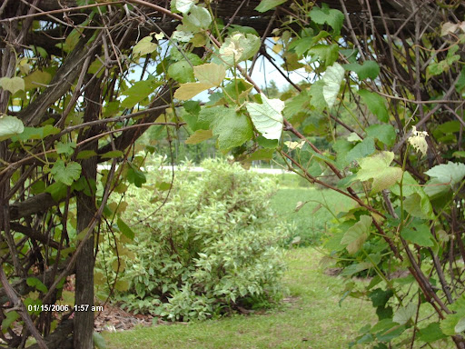 view from under the grape arbor