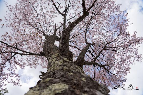 堂々たる力強さを秘める桜
