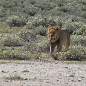 Mannetjes leeuw