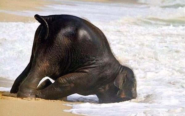 baby elephant takes a dip at beach