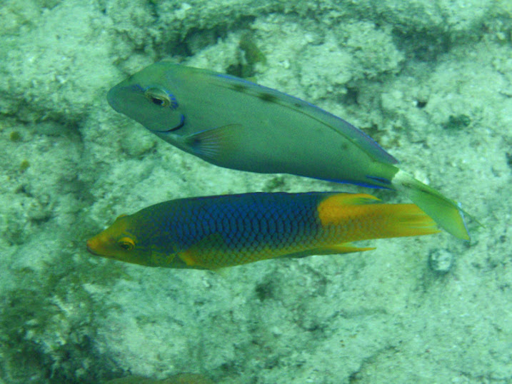 Bodianus rufus (Spanish Hogfish) and Acanthurus bahianus (Ocean Surgeonfish) near Tranquility Bay Resort.