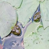 two-frogs_MG_9884-copy.jpg