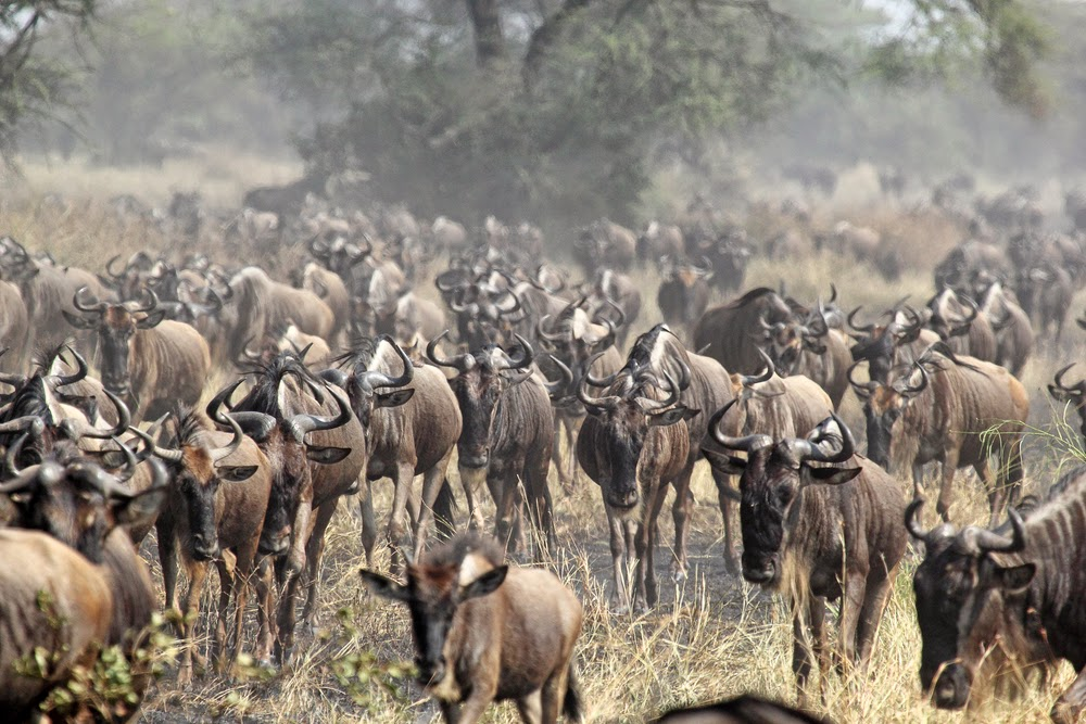 Great Wildebeest Migration, Serengeti National Park, Tanzania