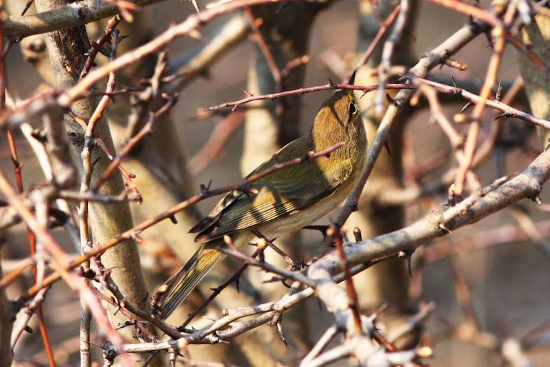 Pitulice mica Fundata pasari birdwatching primavara migratie wildlife