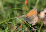 Coenonympha glycerion, iphioides5.jpg