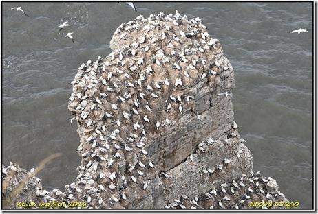 Bempton Cliffs RSPB - August