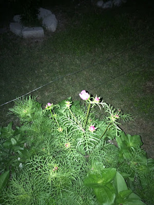 Night picture of Kit's flowers