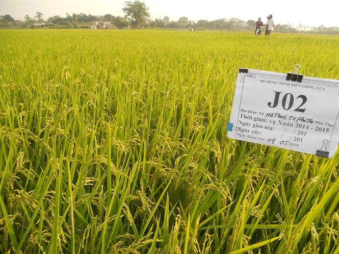 Mô hình trồng lúa lãi 30% - 55c98fa502acb