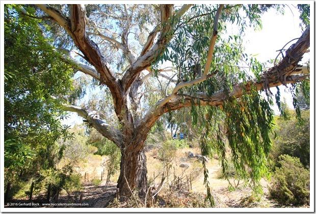 160813_UCSC_Arboretum_181